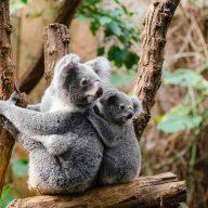 two koalas sitting on a tree in melbourne, australia
