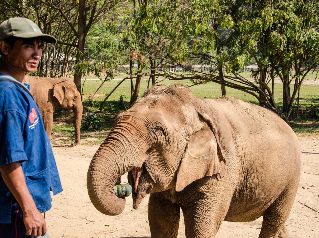Słoń i jego mahout w Elephant Nature Park