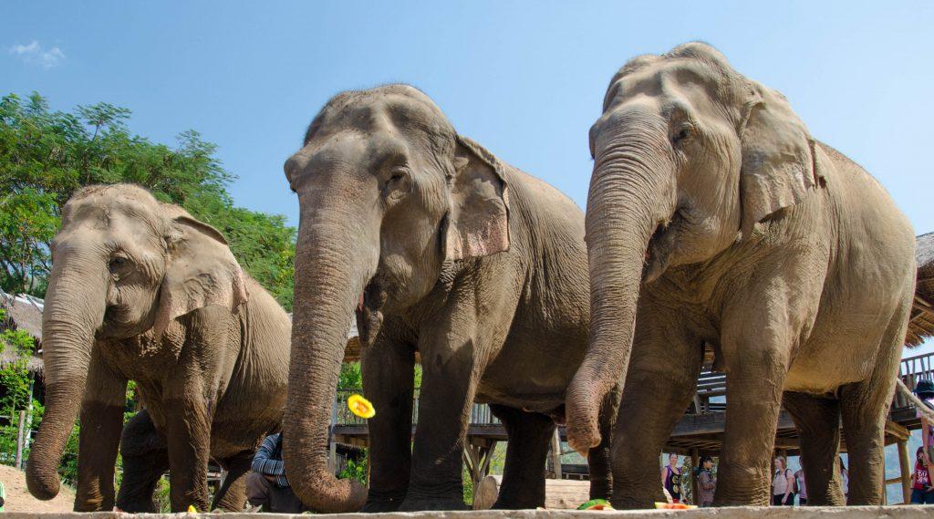 Słonie w Elephant Nature Park