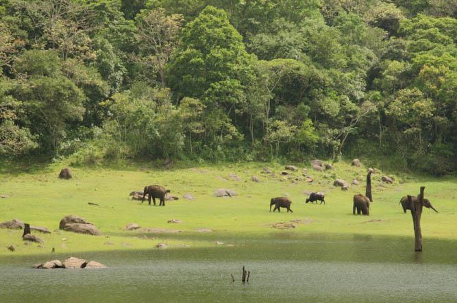 Wild elephants at Thekkady Lake