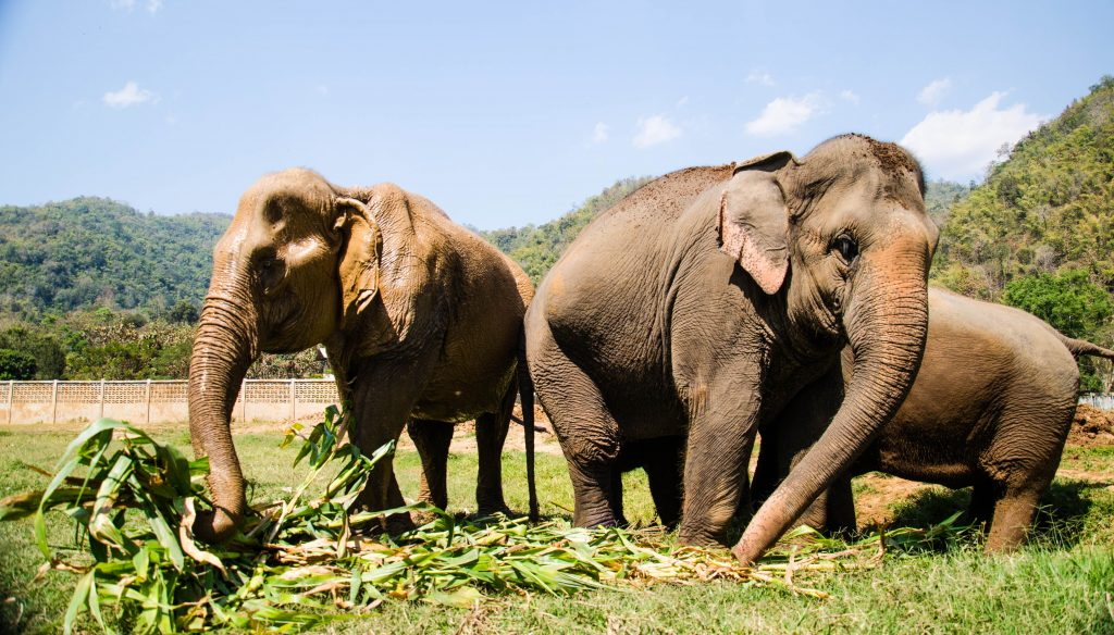 elephants in the elephant nature park, chiang mai