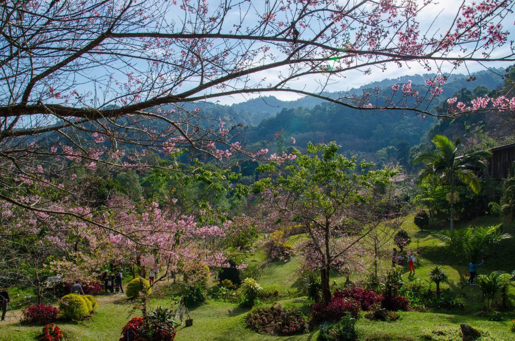 Cherry blossoms in a beautiful mountain panorama