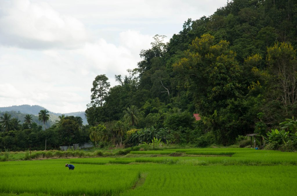 Rice fields around Chiang Dao
