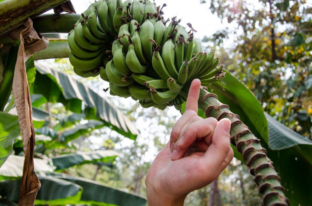 Baby bananas at Queen Sirikit Botanic Garden