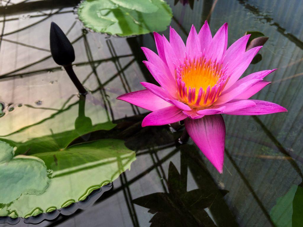 Lotus flower at Queen Sirikit Botanic Garden in Chiang Mai