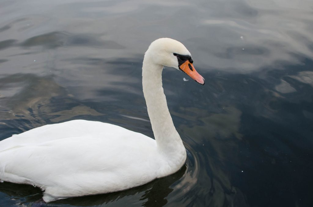 gdynia-swan-sea