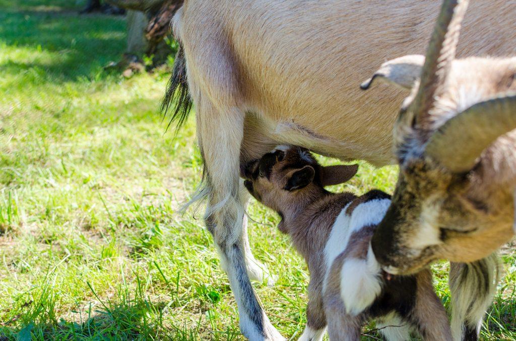 leba-dinosaur-park-goats-1