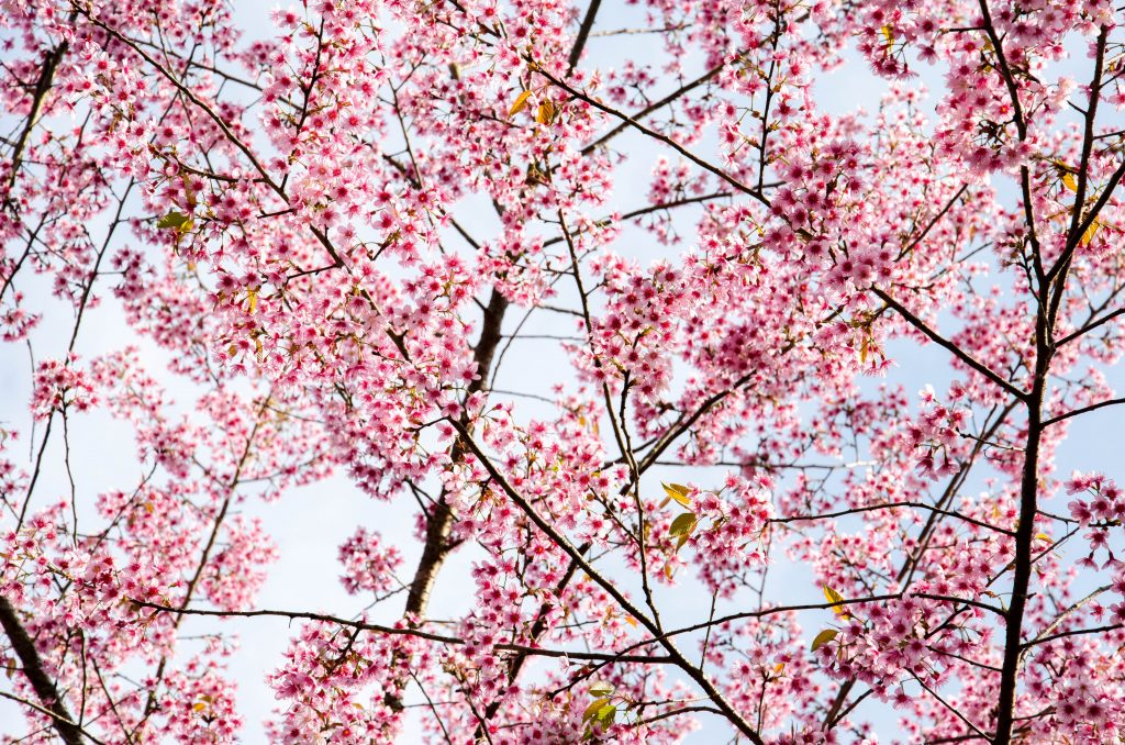 Valentine's day in Chiang Mai, cherry blossoms