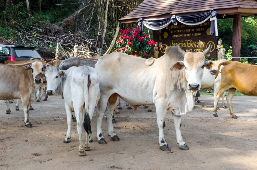 Free roaming cows at the entrance to Pong Kwao Hot Springs in Chiang Mai