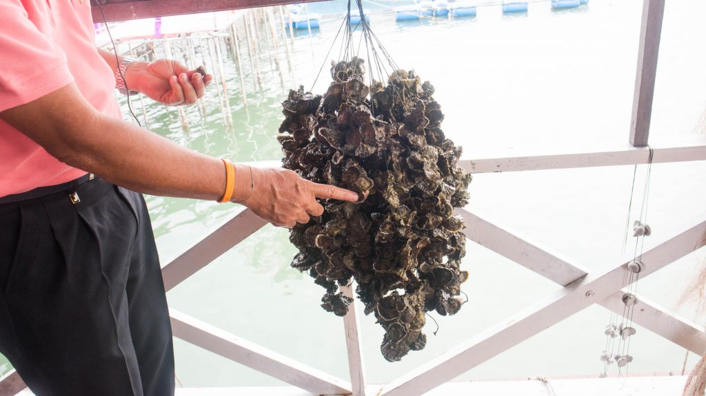 oyster farming demonstration in chanthaburi