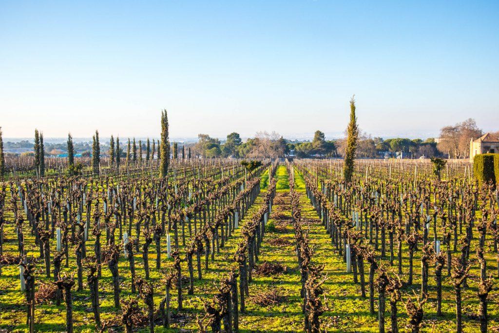 pola winorośli zimą w Quinta de Bacalhôa w Azeitao. Zielona trawa z krzakami winorosli w słoneczny dzień.