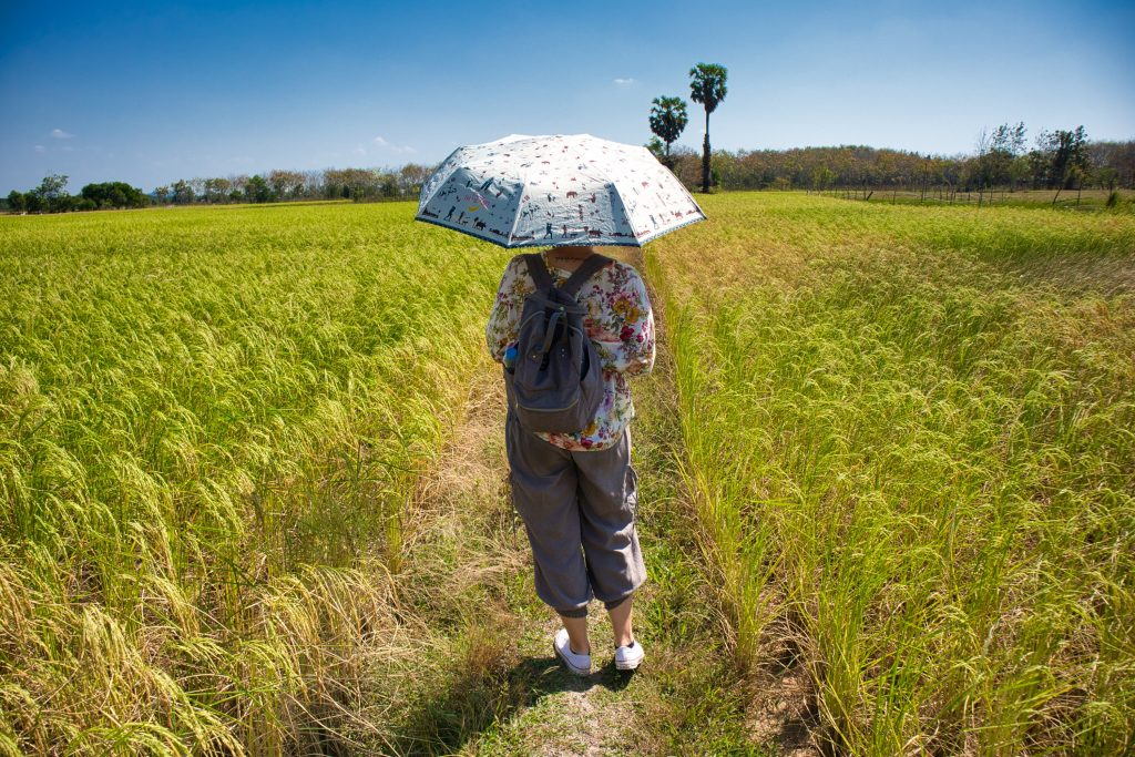 a foreign woman stands with her back to the camera among rice fields. She carries an umbrella that protects her from the sun.