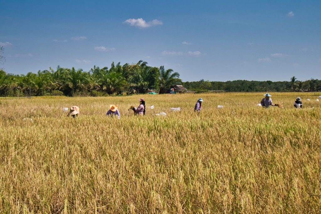a group of women collecting rice on the rice fields in thailand, krabi, koh klang. they are wearing hats and have tanaka paste on their faces.