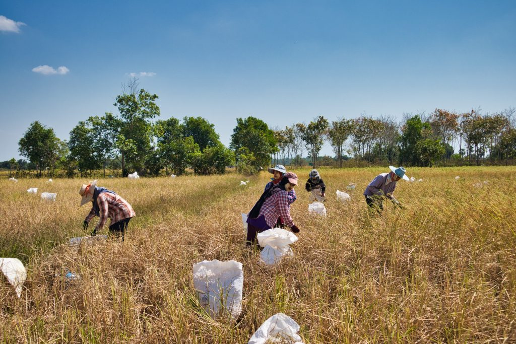 a group of thai women working on a rice fields in koh klang, thailand. they are wearing hats and long sleeved shirts. they put rice in white plastic bags.