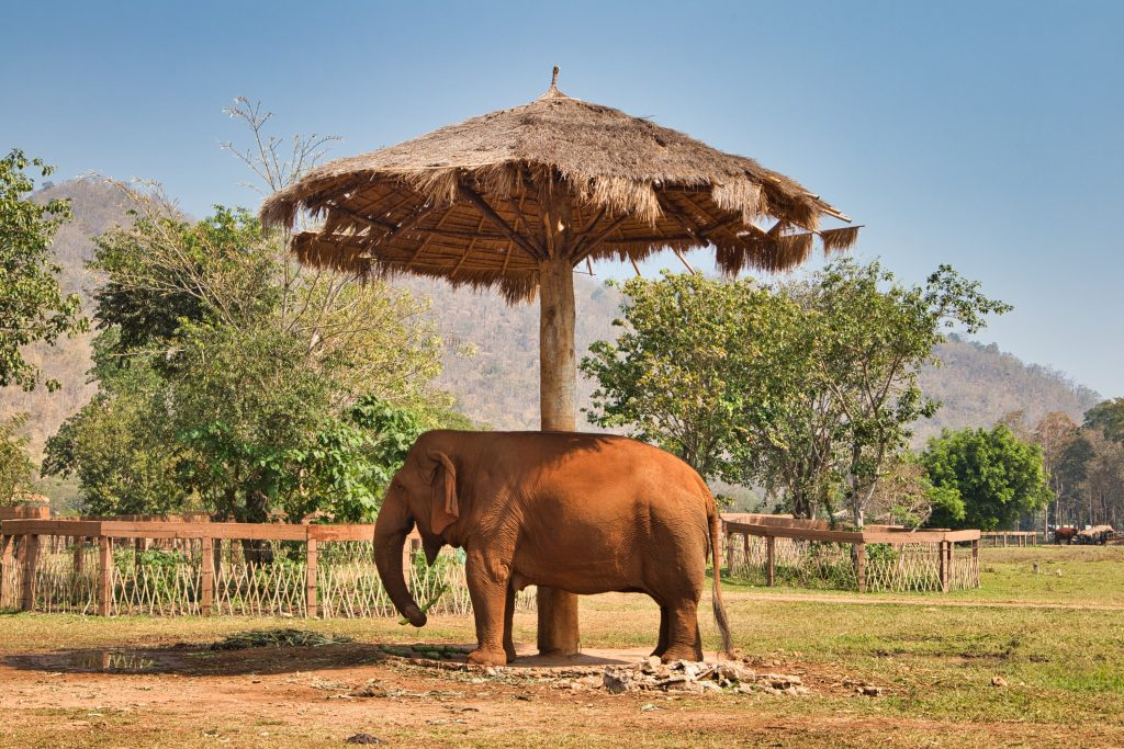 an elephant standing under an umbrella on a field at elephant nature park, thailand