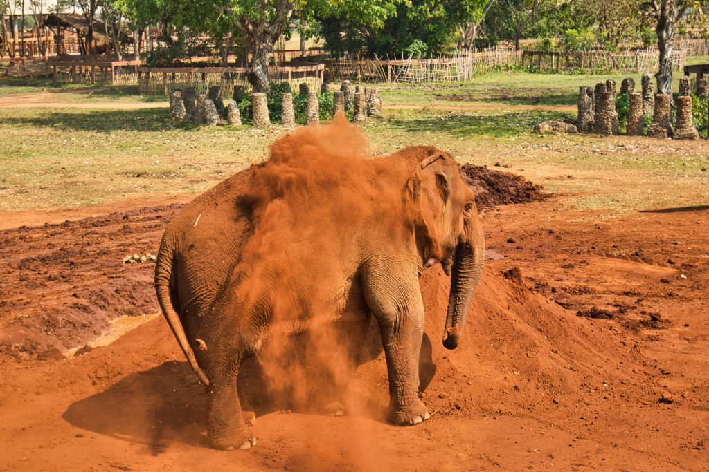 an elephant playing in red sand at elephant nature park.