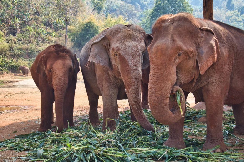 three elephants eating bamboo at elephant nature park in thailand