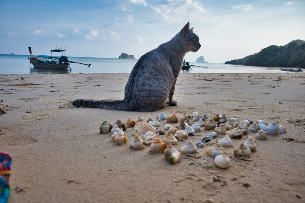 A cat sitting on a koh yao noi beach with sea shells surrounding him and boats behind him.