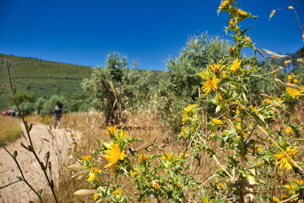 żółte kwiaty na drodze w portugalii